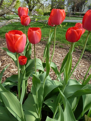 Wheaton, IL, Red Tulips