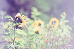 "Sunflower Field • <a style=""font-size:0.8em;"" href=""https://www.flickr.com/photos/41772031@N08/8731043068/"" target=""_blank"">View on Flickr</a>"