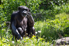 Q02A4881.jpg (Denzil Burriss) Tags: 2013 animal canon chimp chimpanzee dslr kansascity kansascityzoo may missouri nature wildlife zoo