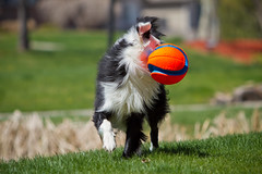 Who Dat? (Anda74) Tags: ball bordercollie ouzo chuckit canonef70200mmf28lusm