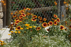 Gazania and California Poppy (bentspur) Tags: flowers poppy gazania californiapoppy
