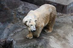 Tania (crybaby75) Tags: zoo hungary budapest polarbear tania llatkert jegesmedve canoneos1000d jegesmaci