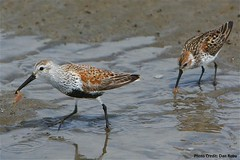 A Dunlin and a Western Sand Piper (USFWS Pacific) Tags: