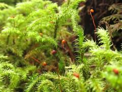 Rhytidiadelphus loreus (chaerea) Tags: nature forest woodland moss bc northvancouver rhytidiadelphusloreus
