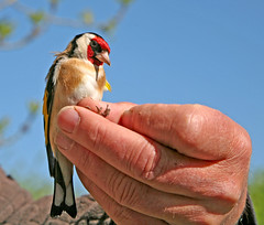 Goldfinch (m) No1 (Trev Earl) Tags: canon wildlife buckinghamshire 5d wendover wildbird 2013365dayphotochallenge