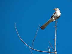 mocking bird (Riex) Tags: california bird animal sfba oiseau mockingbird schneiderkreuznach variogon z990 kodakeasysharemax