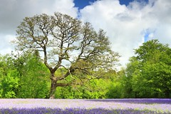 Bluebells (markgeorgephotography.co.uk) Tags: flowers trees england sky cloud southwest flower tree nature field weather bluebells clouds landscape lawn fields environment canon1740mmf4lusm canon1740mmf4l landscapephotography canon7d