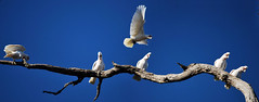 DSC_0218_stitch_2_D (renrut01) Tags: blue sky tree flight victoria six chatsworth cockatoos corellas