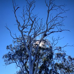 This tree reminds of me: It is winter here #aus #trip (Lawrence Wang ) Tags: australian aus       uploaded:by=flicksquare foursquare:venue=4ff54d6ee4b0c98ddbfcb113 geo:lat=29702944 geo:lon=152951748 digitalshare