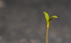 Growing up with Monsoon (IMG_3569) (Satish Chelluri) Tags: plant macro green leaves leaf monsoon reversering satishchelluri