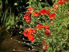 Poppies (Rick & Bart) Tags: red flower nature flora natuur poppy rood klaproos papaver bloem papaverales rickbart rickvink