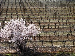 Winter Vines & Blossom (Carolbreeze99) Tags: winter france texture landscape vines pattern blossom scapes minervois