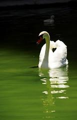 Floating Majesty (snaphappy64) Tags: green water swan curves cygnet symmetry parent majestic palma majorca
