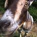 Oliver the goat