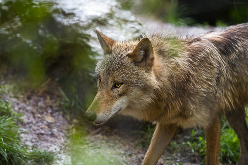 wolf by Cloudtail, on Flickr