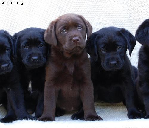 Filhotes de labrador retriever