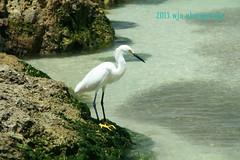 Snowy Egret (Wendy A.) Tags: bird beach gulfofmexico nature canon moss waves gulf florida tamron snowyegret gulfcoast marcoisland schooloffish