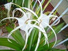 Fiore di Himenocallis (Luciano ROMEO) Tags: verde foglie fiore bianco giglio pancrazio fioritura