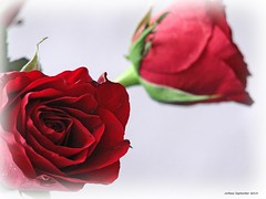 Rosenträume - dreams of roses