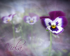 Viola (Jean Turner Cain) Tags: flowers flower macro texture floral closeup photoshop garden flora purple pansy adobe viola textured greatphotographers memoriesbook blurredhighquality blinkagain jeanturnercain