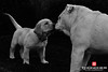 When Cooper Met Gertie (Thūncher Photography) Tags: bw dogs monochrome animals hawaii blackwhite puppies nikon maui fullframe fx iphotooriginal pukalani d700 nikond700 niksilverefexpro thephotographyblog nikkorafs50mmf18g
