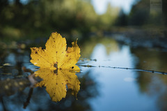 tranquility (desomnis) Tags: autumn autumnfoliage reflection fall nature water yellow forest canon leaf bokeh autumncolors tamron autumnal waterreflection 6d wetspot tamron2470 canon6d autumnalreflection canoneos6d desomnis tamronsp2470mmf28