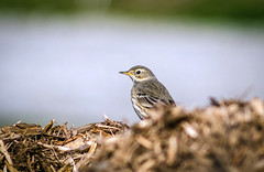 American Pipit On Wood Chips (Miguel de la Bastide) Tags: wood bird nature small chips american manualfocus on pipit downsviewpark manualfocusing nikon300mmf45edif