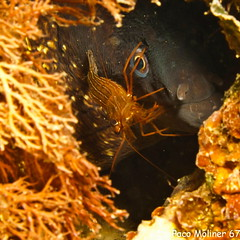Plisionika narval (pacomoliner67) Tags: crustaceos