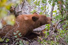 Tetons-20130926-239 (Jason Nash) Tags: bear park black tree berries cinnamon grand claw teton tetons nations