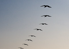 "Brown Pelicans Flying in Formation • <a style=""font-size:0.8em;"" href=""http://www.flickr.com/photos/30765416@N06/11392906035/"" target=""_blank"">View on Flickr</a>"