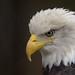 Captive Bald Eagle - West Yellowstone