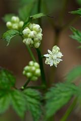 Actaea rubra (red baneberry) (tgpotterfield) Tags: usa pennsylvania newhope ranunculaceae redbaneberry actaearubra actaea bowmanshill
