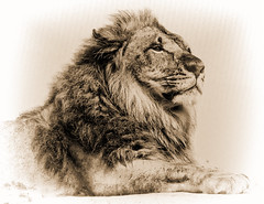 The King Rests (Jeff Clow) Tags: king lion malelion kingofthejungle kingofthedesert jeffrclow