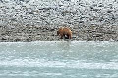 _MG_4404a (markbyzewski) Tags: alaska ugly brownbear grizzlybear glacierbaynationalpark