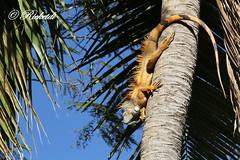 iguane vert -green iguana (ricketdi) Tags: ngc greeniguana supershot fantasticnature iguanevert vision:outdoor=