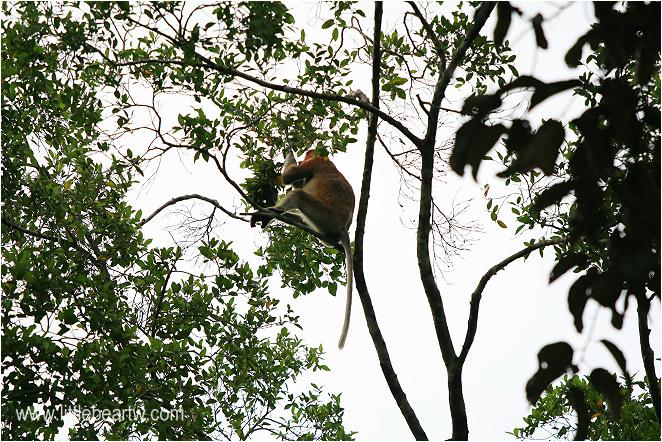 長鼻猴-28