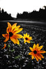 A few Flowers (Brother Lange) Tags: wild montana sunflower helena sunsetflower