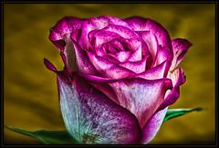 rose (P.Hcherl) Tags: macro rose nikon sigma makro d800 2014 mygearandme flickrstruereflection1 sigma150mmf28apomacroexdgos