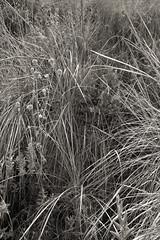 Trkei #42 (beauty of all things) Tags: turkey flora trkei grasses grser gestrpp gestrypp