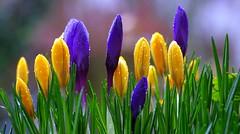 The vibrant colours of: Winter (G_E_R_D) Tags: winter rain germany spring crocus lente printemps regen krokus frühling vår crocuses krokusse wintercolors springcolors szafran frühlingsfarben diefarbendeswinters