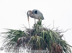"Great Blue Heron_9957.jpg<br /><span style=""font-size:0.8em;"">A Great Blue Heron building nest on top of palm tree, Florida</span> • <a style=""font-size:0.8em;"" href=""http://www.flickr.com/photos/18570447@N02/12709452505/"" target=""_blank"">View on Flickr</a>"