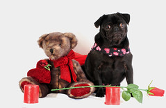 pug & teddy bear (Paws2Printphotography) Tags: bear dog black teddy small pug valentines