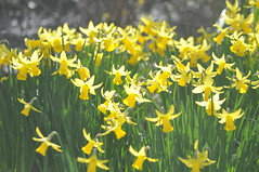 Pavilion_Gardens_0062 (Peter-Williams) Tags: uk flowers garden sussex countryside brighton crocus daffodil parkland carmelia paviliongardens