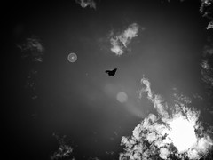 Flying in a B&W sky (Fabio Melato Pereira) Tags: sky bw white black brasil lens nikon rj borboleta da kit serra buterfly mantiqueira d5100