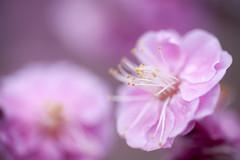 (K.masao) Tags: flower nature redplum japanmasaokatayama
