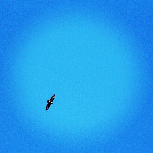 One of the six hawks circling the fields around where I live all afternoon. They were hunting in pairs and hovering hundreds of feet up and dive bombing field  mice or bunnies probably