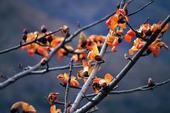 Spring (Sougata2013) Tags: india mountain flower macro nature march spring nikon hill mandi hilltop himachalpradesh 2014 nikond3200 kamand