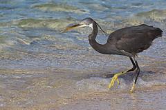 airone sul mar rosso (Zaporogo) Tags: mare occhi uccello gialli egittocanon