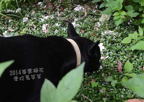 2014油桐花_035.jpg