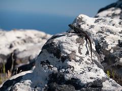 Southern Rock Agama (agama atra) (Marve2011) Tags: animal southafrica lumix reptile panasonic tablemountain tafelberg reptil agama 35100 dmcg6